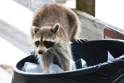 raccoon removal methods